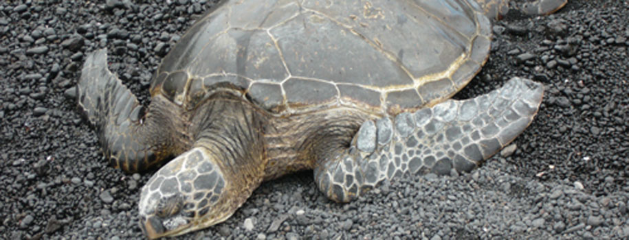 Hawaiian Turtle at Black Sand Beach